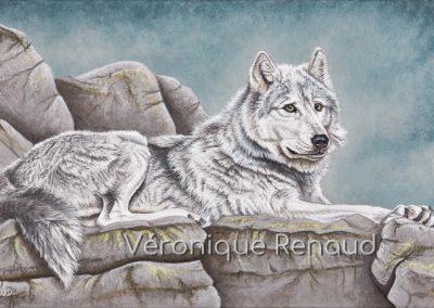 44 - Loup gris