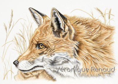 33 - Ti Poum le renard