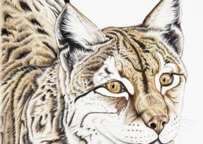 26 - Femelle lynx foret de Bavière