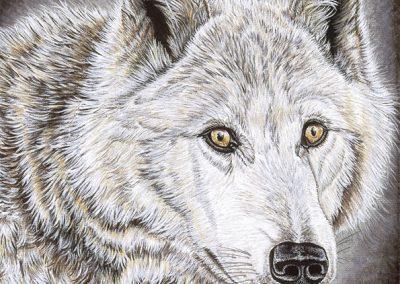 Regard de louve blanche