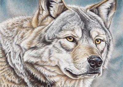 43 - Loup des steppes Mongolie