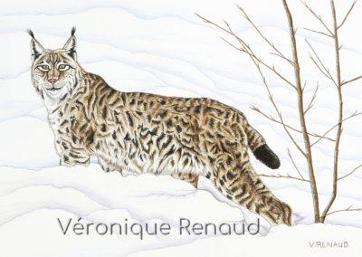31 - Femelle lynx - balade hivernale
