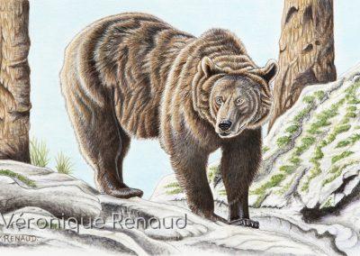 32 - Jeune ours - forêt de Bavière