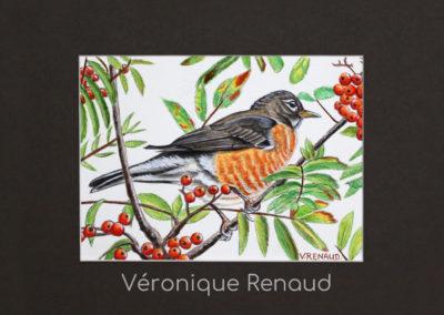 100 - American robin